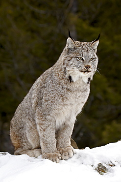 Canadian Lynx (Lynx canadensis) in the snow, in captivity, near Bozeman, Montana, United States of America, North America