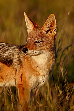 Black-backed jackal (silver-backed jackal) (Canis mesomelas), Mountain Zebra National Park, South Africa, Africa