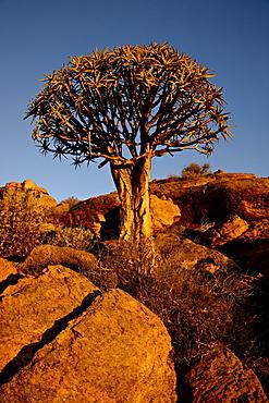 Quiver Tree (Kokerboom) (Aloe dichotoma) at sunset, Namakwa, South Africa, Africa