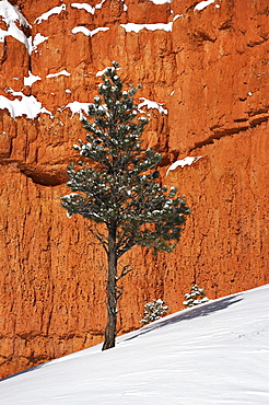 Pine tree in front of red-rock face with snow on the ground, Dixie National Forest, Utah. United States of America, North America