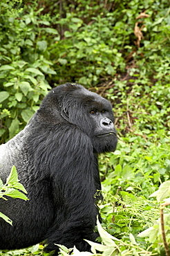 Silverback mountain gorilla (Gorilla gorilla beringei) of Shinda group, Volcanoes National Park, Rwanda, Africa