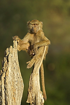 Young male olive baboon (Papio cynocephalus anubis) sitting atop a tree trunk looking at the camera, Samburu Game Reserve, Kenya, East Africa, Africa