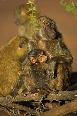 Olive baboon (Papio cynocephalus anubis) nursing young, Samburu Game Reserve, Kenya, East Africa, Africa