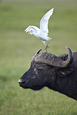 Cape buffalo (African buffalo) (Syncerus caffer) and cattle egret (Bubulcus ibis), Ngorongoro Crater, Tanzania, East Africa, Africa