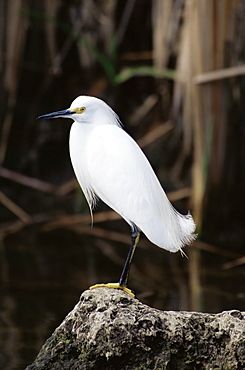 Snowy egret (Egretta thula), Big Cypress Nature Preserve, Florida, United States of America, North America