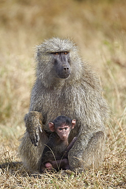 Olive baboon (Papio cynocephalus anubis) infant and mother, Serengeti National Park, Tanzania, East Africa, Africa