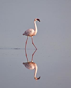 Lesser flamingo (Phoeniconaias minor), Serengeti National Park, Tanzania, East Africa, Africa