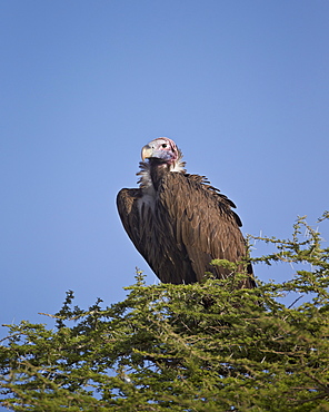 Lappet-faced vulture (Torgos tracheliotus), Serengeti National Park, Tanzania, East Africa, Africa