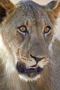 Young male lion (Panthera leo), Kgalagadi Transfrontier Park, encompassing the former Kalahari Gemsbok National Park, South Africa, Africa