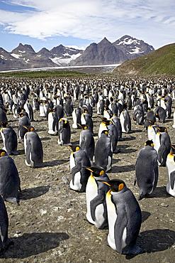 King penguin (Aptenodytes patagonica) colony, Salisbury Plain, South Georgia, Polar Regions