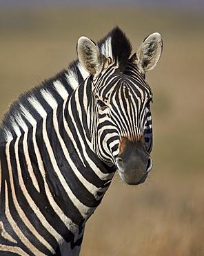 Common zebra (Plains zebra) (Burchell's zebra) (Equus burchelli), Mountain Zebra National Park, South Africa, Africa