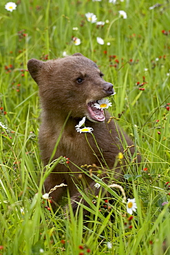 Grizzly bear (Ursus horribilis) cub in captivity, eating an oxeye daisy (Leucanthemum vulgare) flower, Sandstone, Minnesota, United States of America, North America