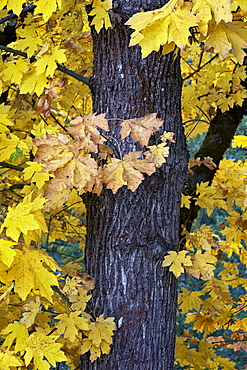Bigleaf maple (Oregon maple) (Acer macrophyllum) in the fall, Mount Hood National Forest, Oregon, United States of America, North America