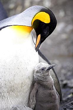 King penguin (Aptenodytes patagonica) adult and first season chick, Salisbury Plain, South Georgia, Polar Regions