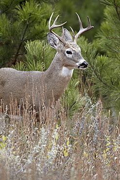 White-tailed deer (whitetail deer) (Virginia deer) (Odocoileus virginianus) buck, Custer State Park, South Dakota, United States of America, North America