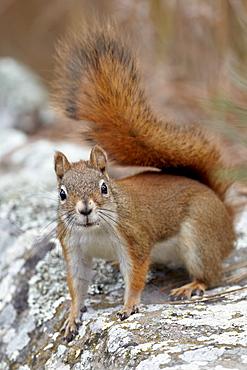 American red squirrel (red squirrel) (Spruce squirrel) (Tamiasciurus hudsonicus), Custer State Park, South Dakota, United States of America, North America