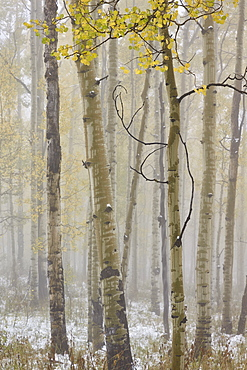 Aspens in the fall in fog, Grand Mesa National Forest, Colorado, United States of America, North America