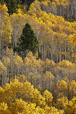Yellow aspens and an evergreen in the fall, San Juan National Forest, Colorado, United States of America, North America