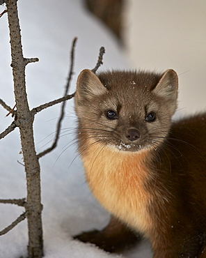 American marten (pine marten) (Martes americana) in the snow, Yellowstone National Park, Wyoming, United States of America, North America