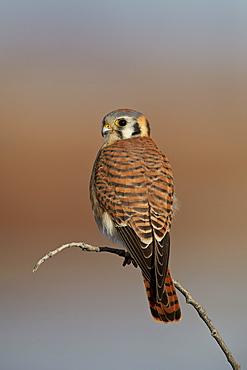 American kestrel (sparrow hawk) (Falco sparverius) female, Bosque del Apache National Wildlife Refuge, New Mexico, United States of America, North America