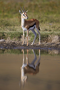 Thomson's gazelle (Gazella thomsonii) buck with reflection, Ngorongoro Crater, Tanzania, East Africa, Africa