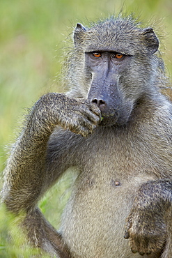 Chacma baboon (Papio ursinus) eating, Kruger National Park, South Africa, Africa