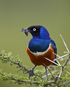 Superb starling (Lamprotornis superbus) with an insect, Ngorongoro Conservation Area, UNESCO World Heritage Site, Serengeti, Tanzania, East Africa, Africa