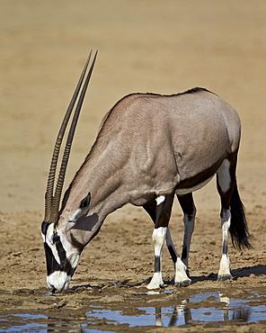 Gemsbok (South African oryx) (Oryx gazella) drinking, Kgalagadi Transfrontier Park encompassing the former Kalahari Gemsbok National Park, South Africa, Africa