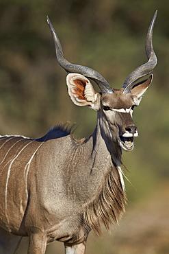 Greater kudu (Tragelaphus strepsiceros) buck with his mouth open, Kgalagadi Transfrontier Park encompassing the former Kalahari Gemsbok National Park, South Africa, Africa