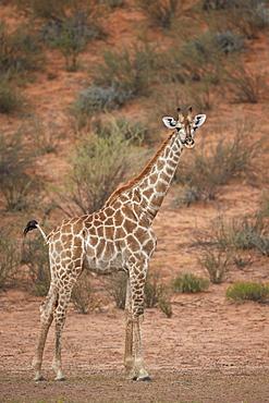 Cape giraffe (Giraffa camelopardalis giraffa), Kgalagadi Transfrontier Park encompassing the former Kalahari Gemsbok National Park, South Africa, Africa