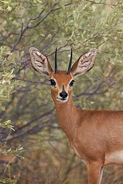 Steenbok (Raphicerus campestris) buck, Kgalagadi Transfrontier Park, encompassing the former Kalahari Gemsbok National Park, South Africa, Africa