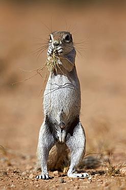 Cape ground squirrel (Xerus inauris) eating, Kgalagadi Transfrontier Park, encompassing the former Kalahari Gemsbok National Park, South Africa, Africa
