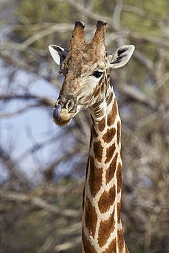 Cape giraffe (Giraffa camelopardalis giraffa) licking its nose after drinking, Kgalagadi Transfrontier Park, encompassing the former Kalahari Gemsbok National Park, South Africa, Africa
