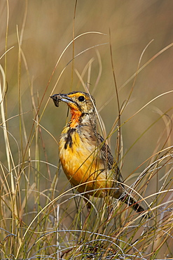 Orange-throated longclaw (Cape longclaw) (Macronyx capensis) with an insect, Mountain Zebra National Park, South Africa, Africa