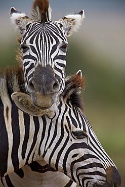 Common Zebra (Plains Zebra) (Burchell's Zebra) (Equus burchelli), Addo Elephant National Park, South Africa, Africa