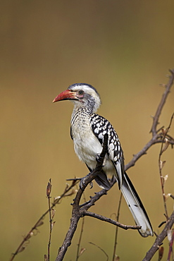Southern red-billed hornbill (Tockus rufirostris), Kruger National Park, South Africa, Africa