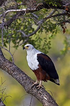 African fish eagle (Haliaeetus vocifer), Kruger National Park, South Africa, Africa