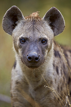 Spotted hyena (spotted hyaena) (Crocuta crocuta), Kruger National Park, South Africa, Africa