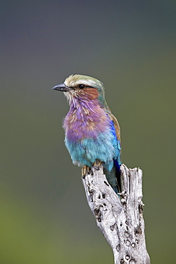 Lilac-breasted roller (Coracias caudata), Kruger National Park, South Africa, Africa