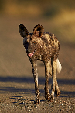 African wild dog (African hunting dog) ( Cape hunting dog) (Lycaon pictus) running, Kruger National Park, South Africa, Africa