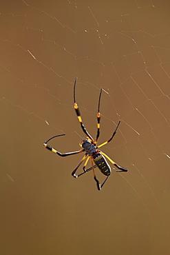 Banded-legged golden orb spider (Nephila senegalensis), Kruger National Park, South Africa, Africa