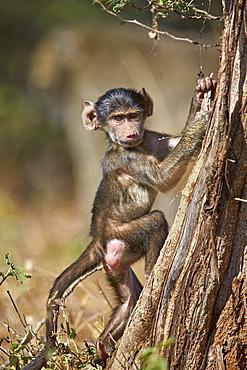 Chacma baboon (Papio ursinus) juvenile climbing a tree, Kruger National Park, South Africa, Africa
