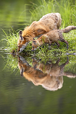 Red fox (Vulpes fulva) adult and kit reflection, in captivity, Sandstone, Minnesota, United States of America, North America
