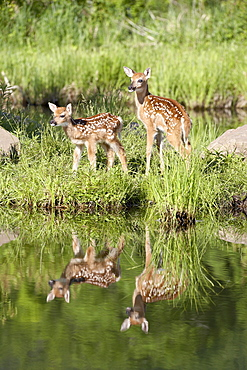 Two whitetail deer (Odocoileus virginianus) fawns with reflection, in captivity, Sandstone, Minnesota, United States of America, North America