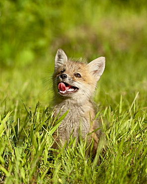 Red fox (Vulpes fulva) kit, in captivity, Sandstone, Minnesota, United States of America, North America