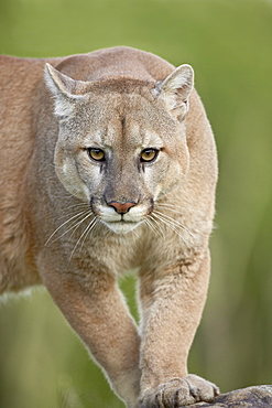 Mountain lion or cougar (Felis concolor), in captivity, Sandstone, Minnesota, United States of America, North America