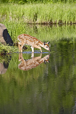 Captive whitetail deer (Odocoileus virginianus) fawn and reflection, Sandstone, Minnesota, United States of America, North America