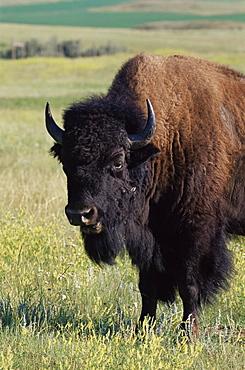 Bison (Bison bison), Theodore Roosevelt National Park, North Dakota, United States of America, North America