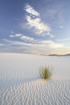 Yucca growing in rippled sand, White Sands National Monument, New Mexico, United States of America, North America