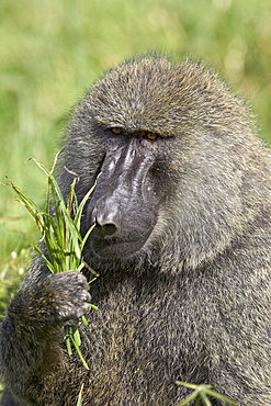 Olive baboon (Papio cynocephalus anubis) eating grass, Serengeti National Park, Tanzania, East Africa, Africa